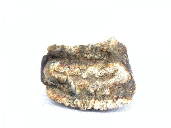RARE Stegodon Mammoth Fossil Teeth Tooth remain Dinosaur