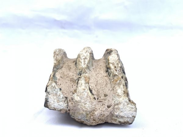 Stegodon or Mastodon fossil Extinct Mammal Animal Specimen Organic Remains