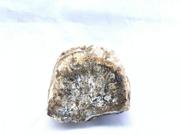 Prehistoric FOSSIL Stegodon Fossils Ridge Molar Dinosaur Mammal BIG TEETH