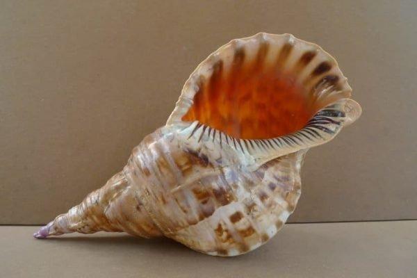 TRITON Seashell