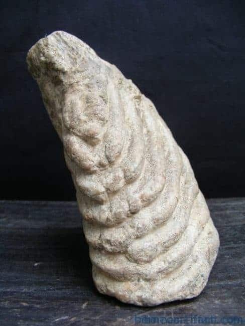 just discovered massive stegodon molar fossil teeth organic remains relic borneo