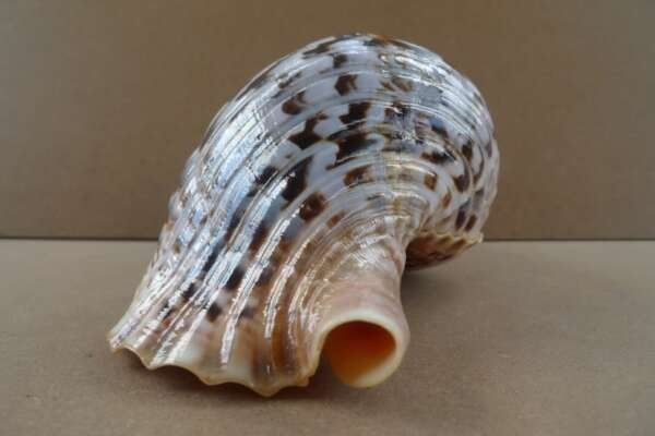 """GIANT PACIFIC TRITON 340mm / 13.4 """" Asia Asian Seashell Sea Snail Charonia Trumpet Bed Lamp"""