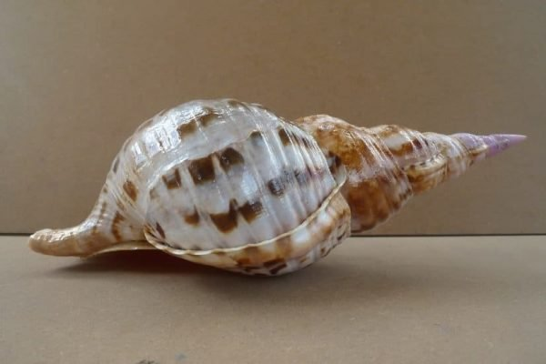 Shell Seashell