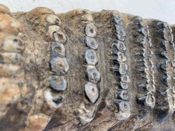 Stegodon / Mastadon Teeth 250mm Fossil Fossils Mammoth Elephant Mammal Prehistoric Specimen